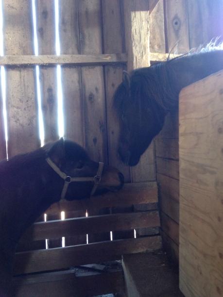 unghäst och ridskolehäst hälsar över staketet
