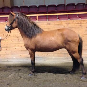 Träningshästen Freydis från Rosenlindhsgård