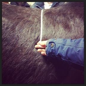 Hitta hästens rörelsecenstrum, kota 12-14
